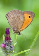 Rotbraune Ochsenauge - Gatekeeper/Hedge Brown  (Pyronia tithonus)