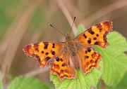C-Falter - Comma  (Polygonia c-album)