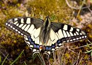 Schwalbenschwanz - Old World Swallowtail  (Papilio machaon)